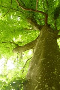 arbre majestueux en foret de fontainebleau